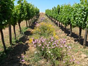 La culture du vin bio au Château Petit Roc