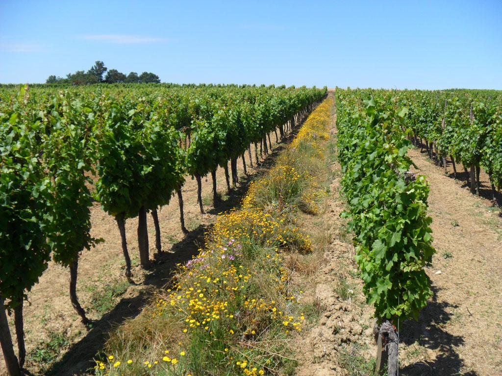 Notre conduite de la vigne ch teau petit roc - Parasite de la vigne ...